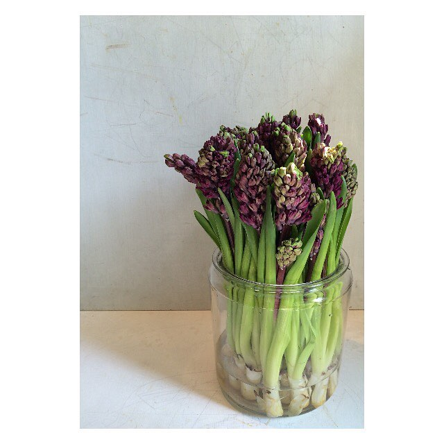 今日の花ヒヤシンス#flower #hyacinth #purple #terre #kochi #flowershop